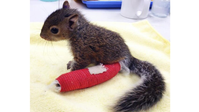 Wildlife Officials: Baby Squirrel on the Mend After Fall
