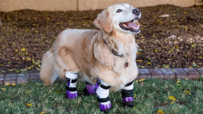 Chi Chi, Therapy Dog Who Lost All 4 Paws, Named 2018 American Hero Dog