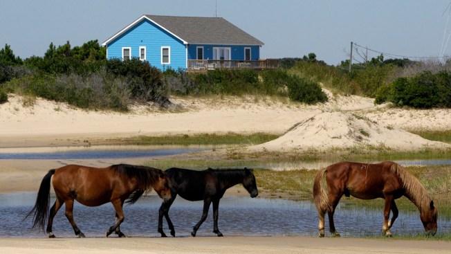 North Carolina's Wild Horses Expected to Survive Hurricane