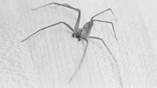 Paraplegic Cured by Spider Bite, Arrested