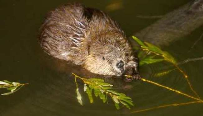 Two Girls Attacked by Rabid Beaver in Virginia Lake