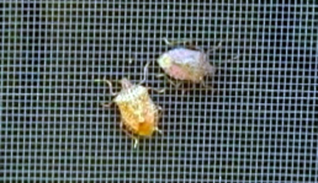 Residents Sought to Help in Stink Bug Study