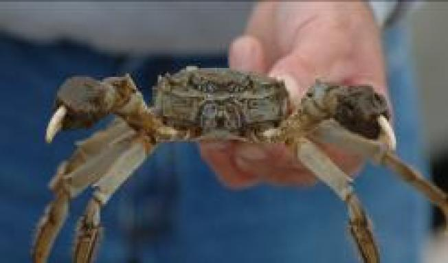 Seen a Crab With Mittens? Tell Smithsonian