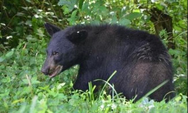 Bear Spotted in NW Released Into the Wild