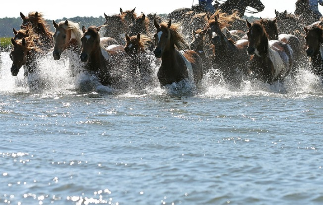 Chincoteague Pony Swim Wednesday on Eastern Shore