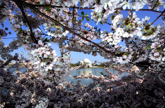 DC Benefits From Recession-Proof Cherry Blossoms