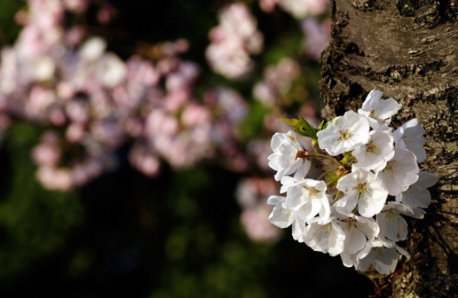 Cherry Blossom Viewing: Alternatives to the National Mall