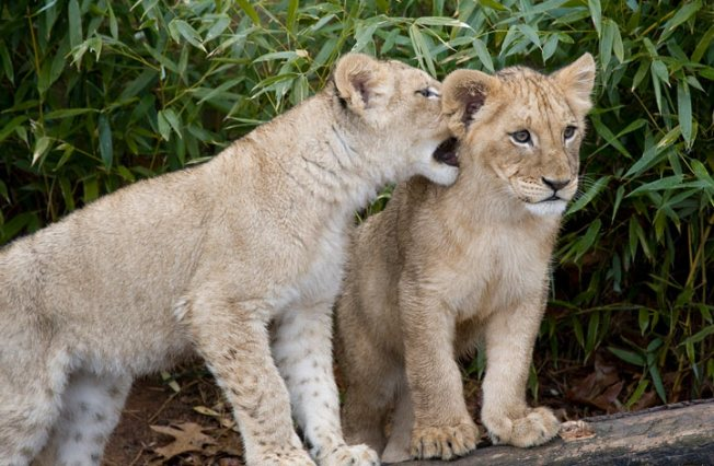 "National Zoo Celebrates Lion Cubs' First Birthday With ""Bloodcicles"""