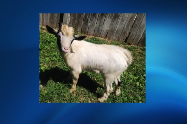 Goat Rescued After Wandering Streets of Northeast D.C.