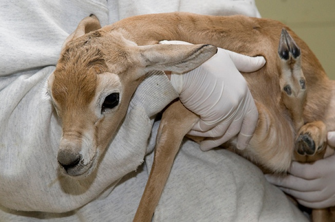 Gazelle Calf Born, Instantly Adorable