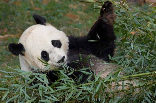 Breaking: Pandas Have Freckled Bellies