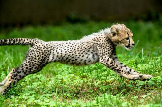 Cheetah Cubs Named for Olympic Sprinters