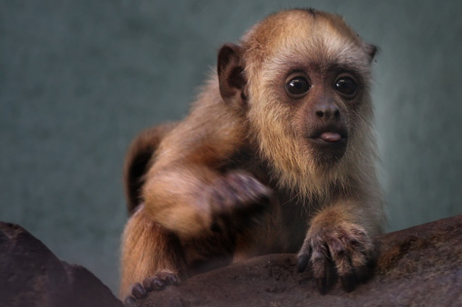 Baby Howler Monkey Needs YOU! (To Name It)