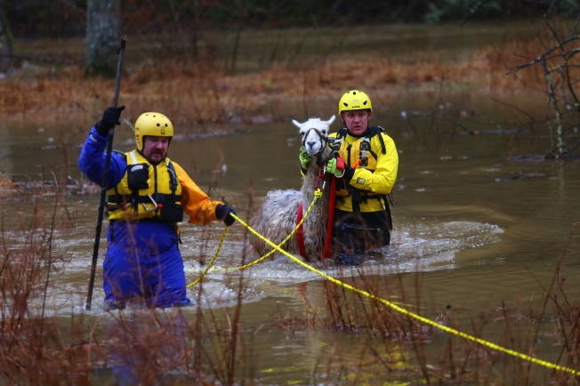 Stranded Llama Stirs Up Rescue Drama in Maryland