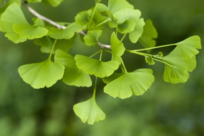 Smelly Ginkgo Trees to Be Sprayed