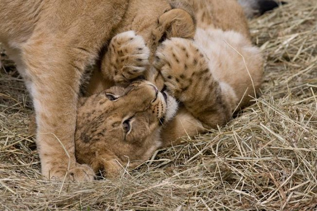 Lion Cubs Totally Inviting You to a Sleepover