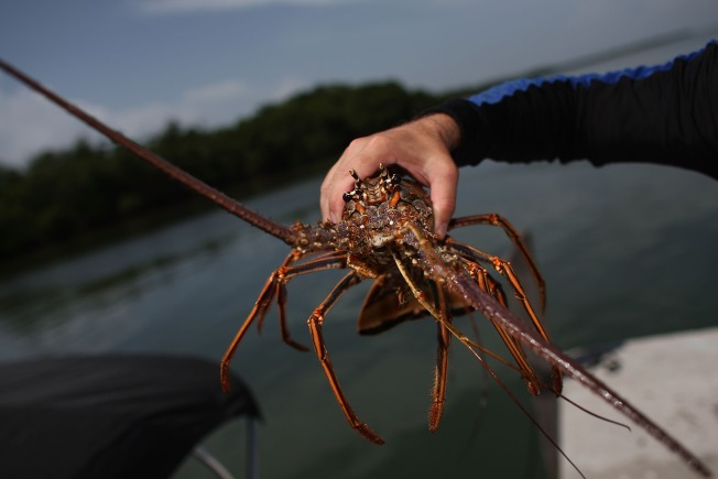 Potomac Lobster Sightings Explained