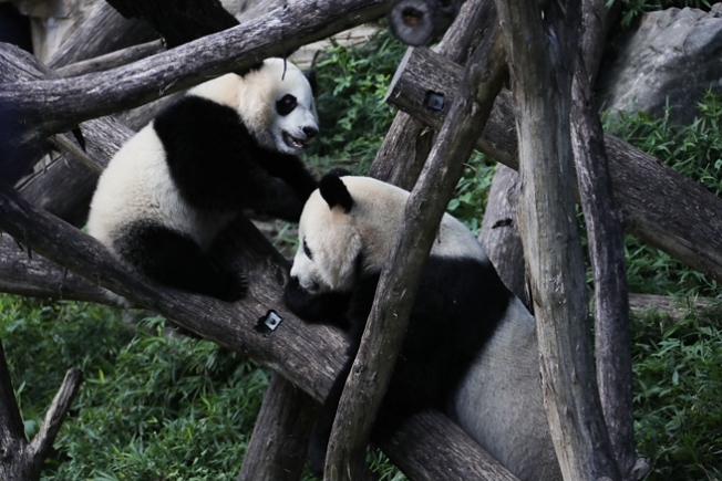 National Zoo's Pandas Oversharing About Baby-Making Again