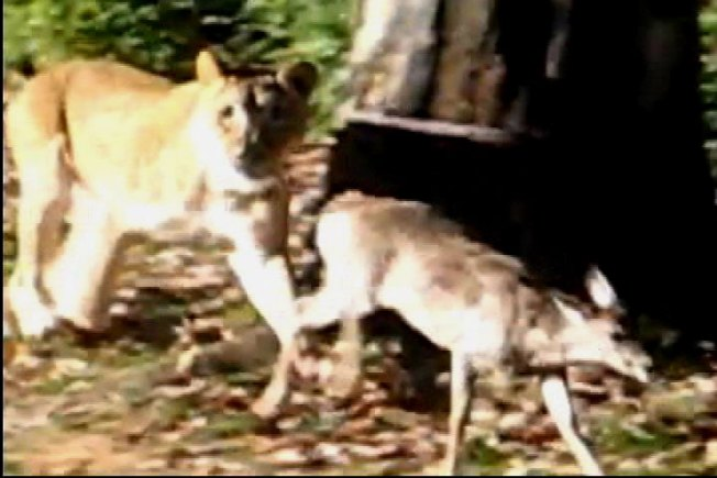 Baby Deer Jumps Into Zoo's Lion Exhibit