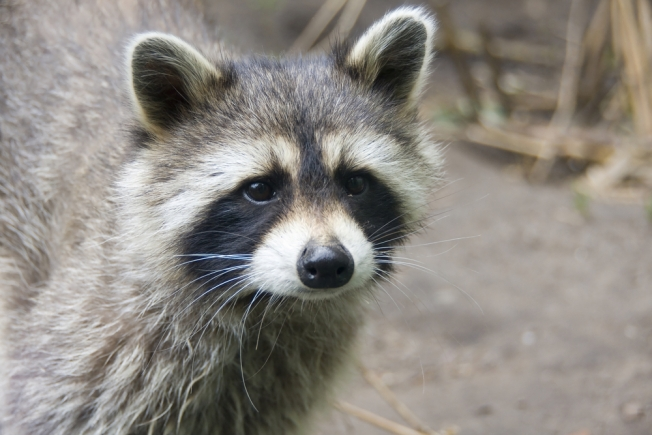 Raccoon Knocks Out Power to 4,000 Homes
