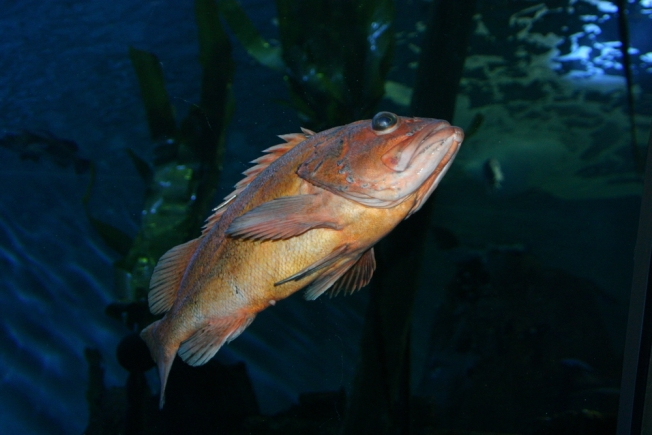 How Much Rockfish Is It Safe to Eat?
