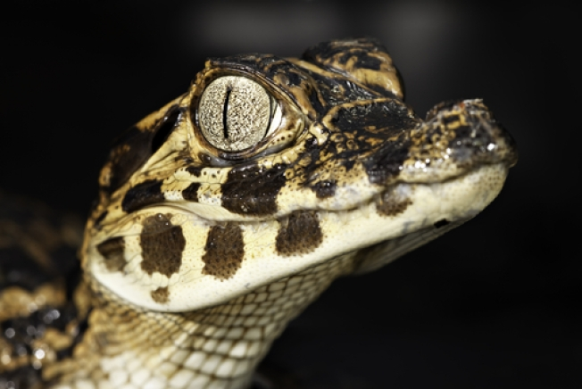 Reptile Native to Central, South Americas Caught Swimming in Md.
