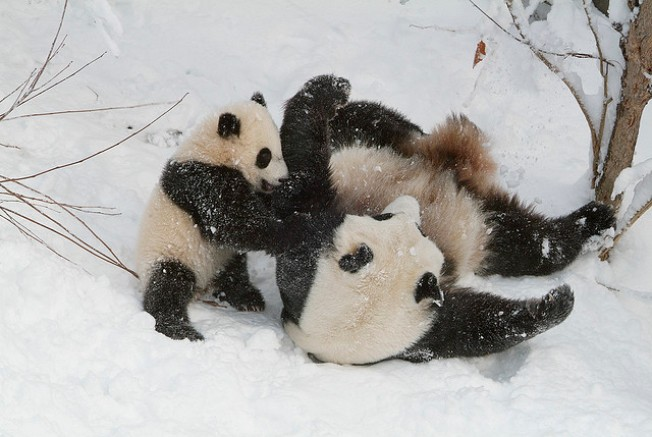 Pandas Are Staying -- At Least for Now