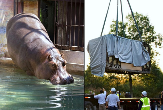 "Zoo Evicts ""Happy"" the Hippo"