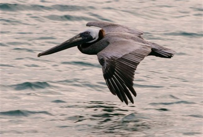 Slashed Pelican Pouches Probed in Florida