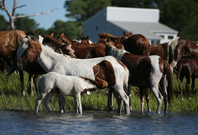 Shutdown Scuttles Annual Fall Assateague Island Pony Roundup in Virginia