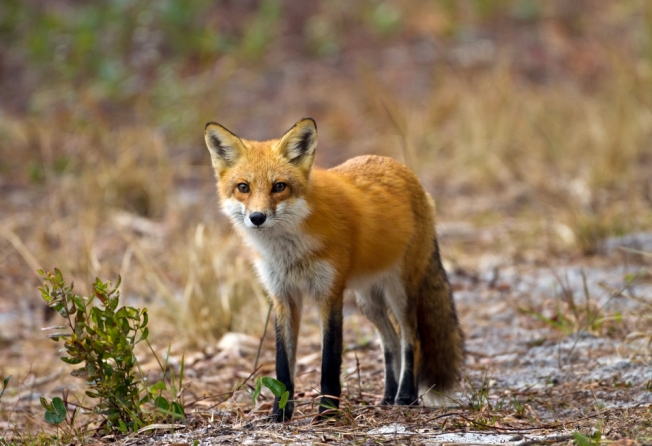 Wildlife Officials Suggest Changes for 'Fox Pens' in Virginia