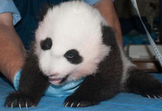 National Zoo Panda Cub Opening Eyes, Spends Time Away From Mom