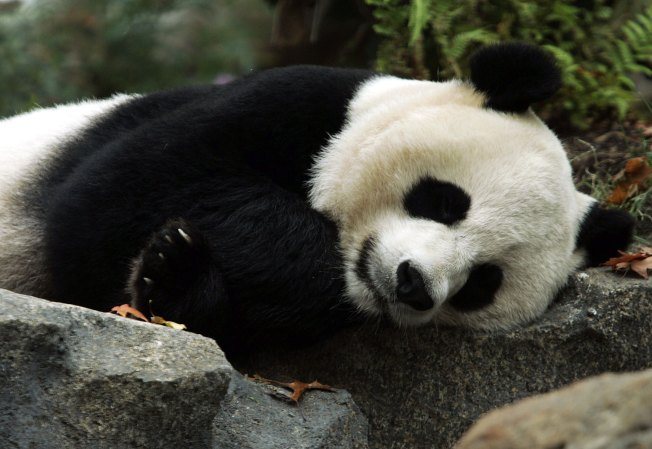 Ford Donates $400,000 to National Zoo to Study Pandas