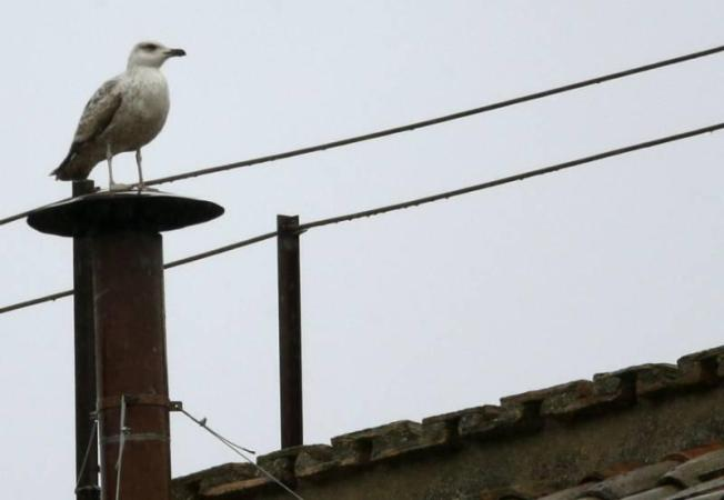 Seagull Perched on Sistine Chapel Chimney Ignites Social Media Frenzy