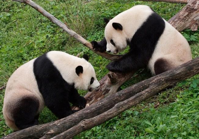 Panda Breeding Season Begins at National Zoo
