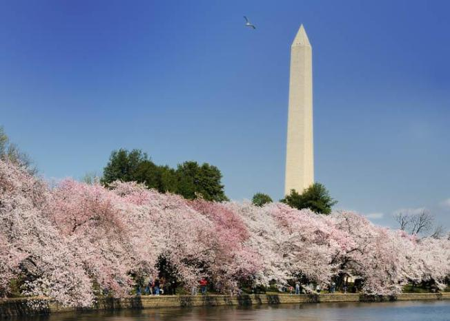 Your 2009 Cherry Blossom Guide