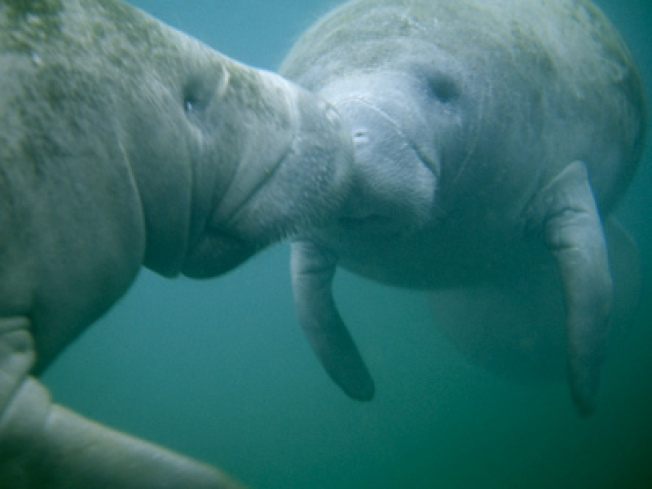 Drivers Get a Glimpse at Manatee Orgy