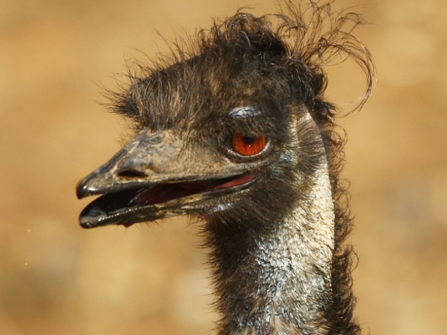Loose Emu Locked Up in MD