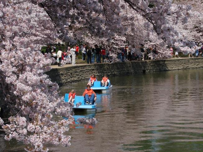 Peak Cherry Blossom Bloom Predicted