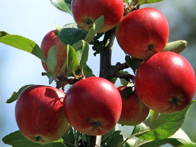 Virginia Picking Smaller, Tastier Crop of Apples