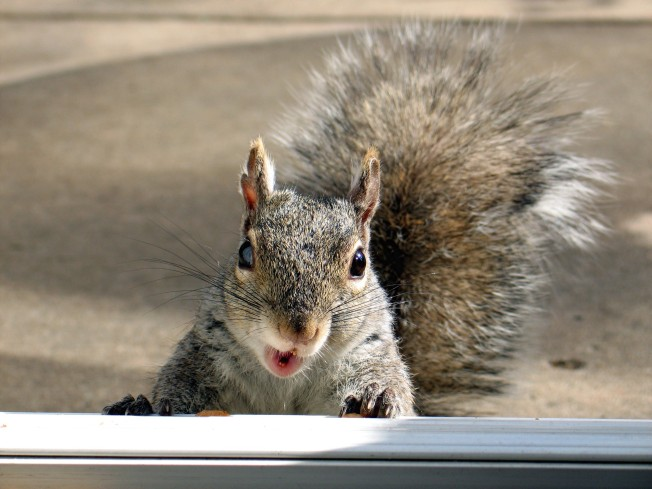 Pepco Blames Power Outage on Squirrel