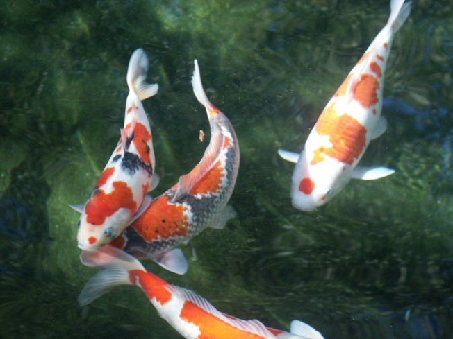 Koi Fish Have Personality at the National Arboretum