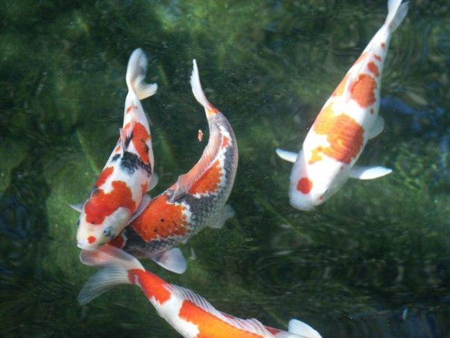 Koi fish have personality at the national arboretum nbc4 for Japanese friendship garden san jose koi fish