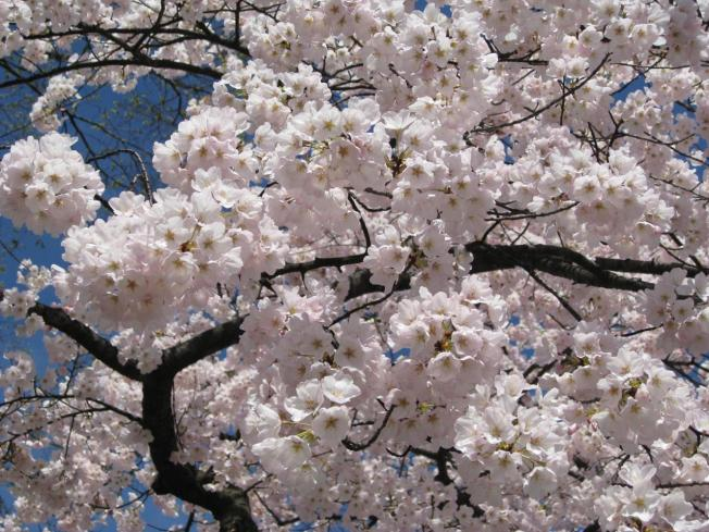 """Blossoms Enter """"Puffy White"""" Stage"""