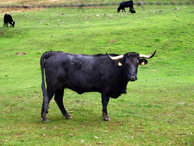 Fugitive Bull Prompts Traffic Warning Sign in Virginia