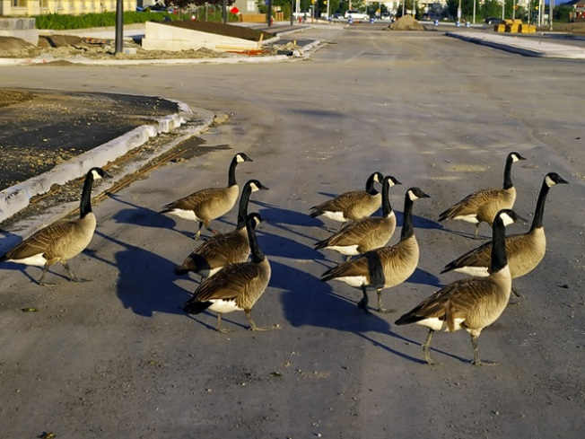 Fairfax Plans Spring Cleaning -- for Geese