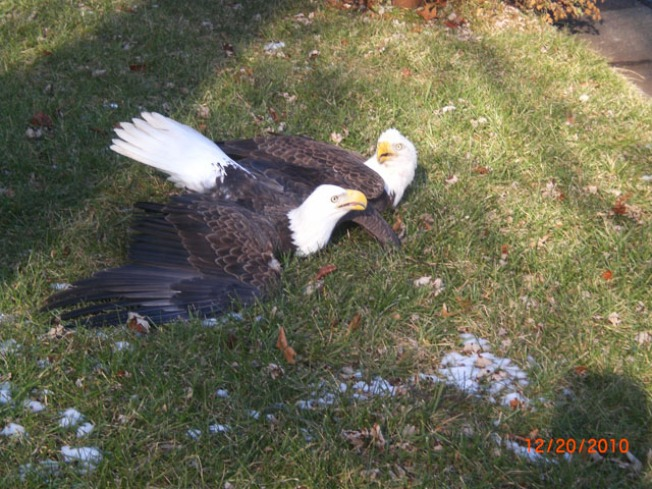 Bald Eagles Drop in Sterling Front Lawn