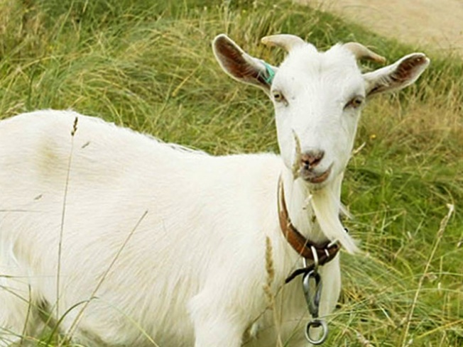 Goats Are Coming for Prince George's County Grass