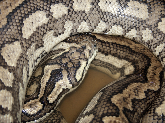 7-Foot Python Found on Maryland Road