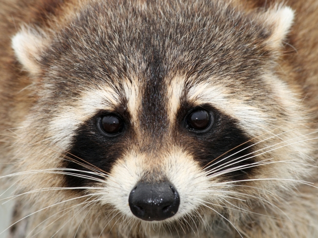 Metro Opens Doors to Raccoon Family
